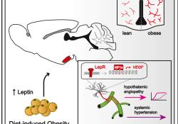 """肥胖相关的高瘦素血症会改变<font color=""""red"""">下丘脑</font>的胶质血管界面来促进高血压"""