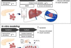 干细胞治疗1型糖尿病:使用间充质干细胞保护胰岛功能