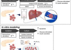 "<font color=""red"">干细胞</font>治疗1型糖尿病:使用间充质<font color=""red"">干细胞</font>保护胰岛功能"