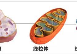 "Nat Metab:线粒体<font color=""red"">DNA</font>突变,竟能降低癌症患者死亡风险"