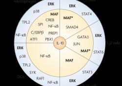 "<font color=""red"">研究</font>进展:<font color=""red"">细胞</font><font color=""red"">因子</font>IL-10生物学和治疗潜力多样性详解"