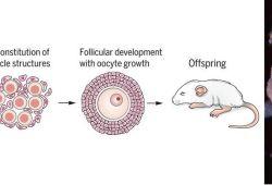 "Science:继""人造精子""""人造卵子""后,日本科学家在体外成功构建卵泡及卵母细胞"