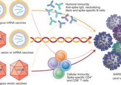 "SARS-CoV-<font color=""red"">2</font>疫苗混和接种可能更有效"