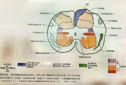 脊髓结构及CT和MRI表现