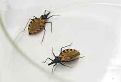 "Circulation:WHO呼吁关注""沉默的疾病"",Chagas心肌病是什么鬼?"