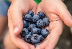 Nutrients:多食用蓝莓会改变机体的肠道微生物群,有益于身体健康