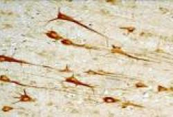 SCIENCE:线粒体促进大脑发育期间神经元分化
