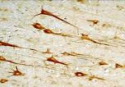 "SCIENCE:<font color=""red"">线粒体</font>促进大脑发育期间神经元分化"