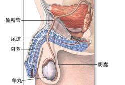 输精管切除术-正常解剖(图片)