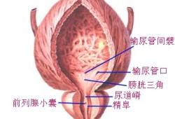 膀胱及男性尿道前例腺前面观(图)