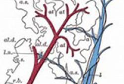 Circulation:MiR-22可调节血管平滑肌细胞表型调整和内膜形成