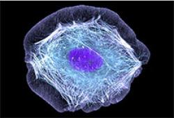 Neuron:PDGFRβ細胞釋放CCL2的生理功能