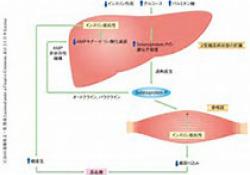 DIABETOLOGIA:通过胰岛素和胰岛素类似物X10激活COLO-205结肠癌异种移植物中的胰岛素受体和IGF-1受体不会在正常或低血糖条件下促进生长