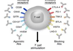 继PD1/PD-L1之后,谁能成为下一个肿瘤逃逸的经典通路?