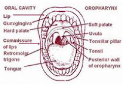 J Dent Res:Smad7在牙齿发育过程中调节牙上皮增殖