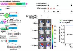 "Nat Cell Bio:利用CRISPR技术精准<font color=""red"">修正</font>胶质瘤致癌基因突变"